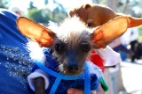 Definitely Not a Doxie... Chinese Crested