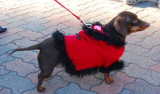 Fur Coat Doxie