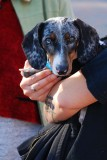Rescued Doxie