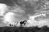 Clouds and Cows