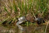 Midland Painted Turtle - Chrysemys picta marginata- Midland Sierschildpad