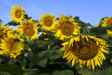 Sunflowers1
