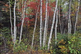 ZzwPB_T0432_TOP3p_Birch-trees_at_fall:Bouleaux_et_contrastes_Charlevoix_Qc.jpg