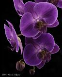 Doritaenopsis Sogo Beach 'Stones River' AM/AOS