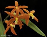 Cattleya harpophylla 'Marble Branch' HCC/AOS