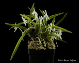 Neofintia xishangensis 'Michel' CHM/AOS