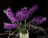 Dendrobium Nestor 'Rosadan' CCM/AOS