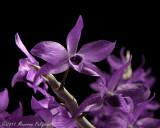Dendrobium Nestor 'Rosadan' AM/AOS