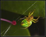 Green spindler