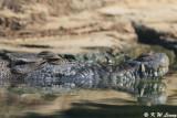 Crocodile - Pui Pui