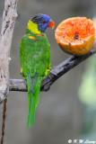 Rainbow Lorikeet  05
