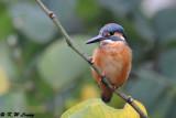 Common Kingfisher DSC_6956