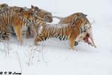 Siberian Tiger DSC_7965