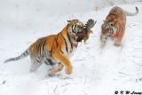 Siberian Tiger DSC_7844