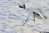 Red-Crowned Crane DSC_9797