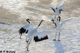 Red-Crowned Crane DSC_9686