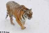 Siberian Tiger DSC_7776