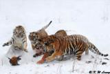 Siberian Tiger DSC_8061