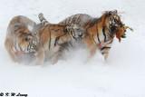 Siberian Tiger DSC_8019