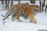 Siberian Tiger DSC_7806