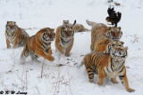 Siberian Tiger DSC_8055
