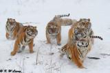 Siberian Tiger DSC_8054