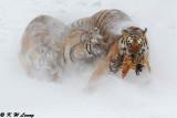 Siberian Tiger DSC_8018