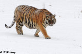 Siberian Tiger DSC_7769
