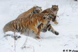 Siberian Tiger DSC_7820