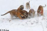 Siberian Tiger DSC_8026