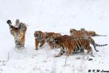 Siberian Tiger DSC_8060