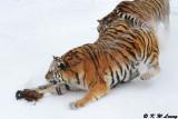 Siberian Tiger DSC_7884