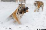 Siberian Tiger DSC_7842