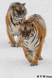Siberian Tiger DSC_7773