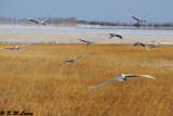 Red-Crowned Crane DSC_9576