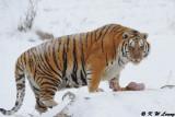 Siberian Tiger DSC_7976