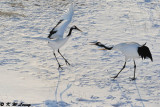 Red-Crowned Crane DSC_9635