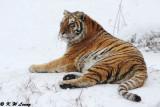 Siberian Tiger DSC_8007