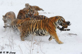 Siberian Tiger DSC_7995