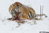 Siberian Tiger DSC_7963