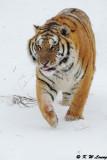 Siberian Tiger DSC_7953