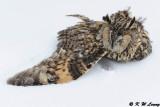 A dead owl in the snow DSC_8494