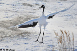 Red-Crowned Crane DSC_9649