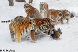 Siberian Tiger DSC_7878
