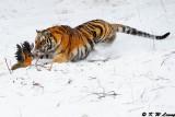 Siberian Tiger DSC_7838