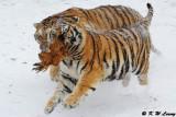 Siberian Tiger DSC_7930