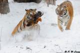 Siberian Tiger DSC_7841