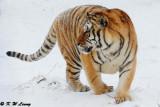 Siberian Tiger DSC_8015