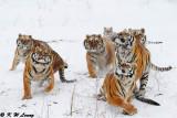 Siberian Tiger DSC_8053