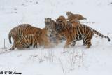 Siberian Tiger DSC_7991